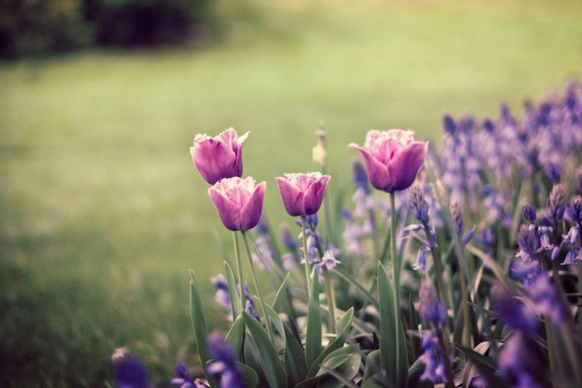 Spring tulips bloom in Paris. Image: JuaneDC/Creative Commons