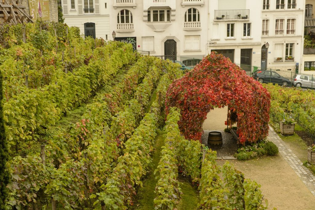 The Clos Montmartre vineyard in Paris. Image: Son of Groucho/Creative Commons